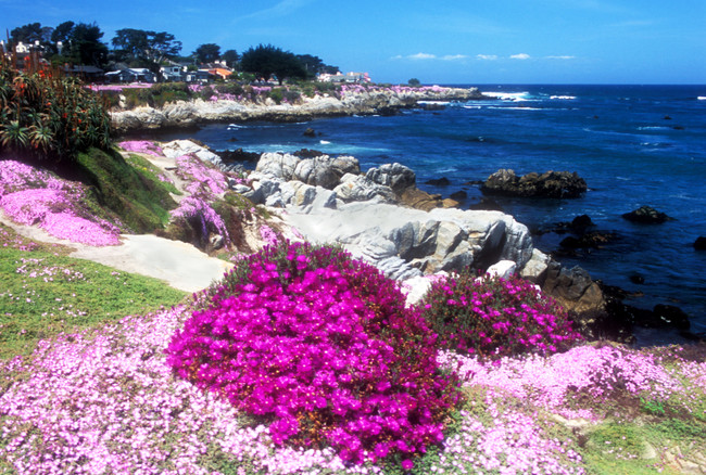Ice Plant on the Monterey Peninsula in California